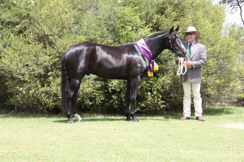 Australian stock horse stallion